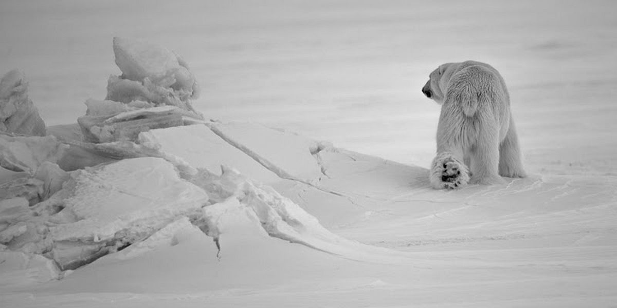 Polar bear, Svalbard 2014 © Laurent Baheux