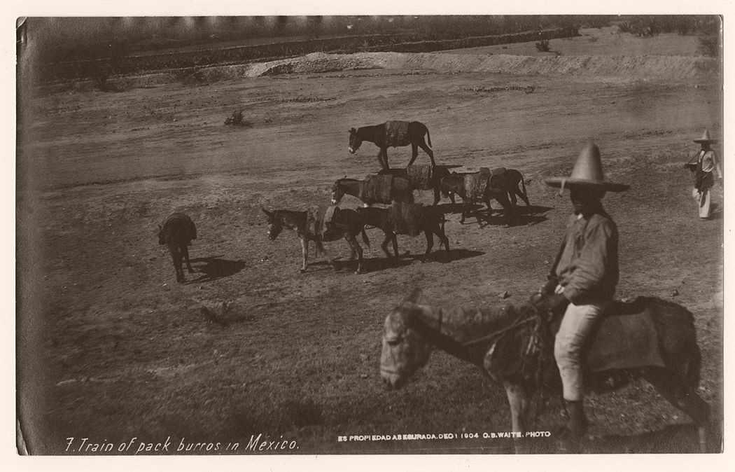 Train of pack burros in Mexico, 1904