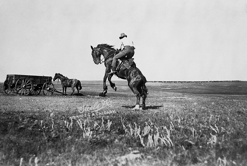 Cowboy riding a bucking bronco on Billy Cochrane's CC Ranch, Mosquito Creek, Alberta, 1901