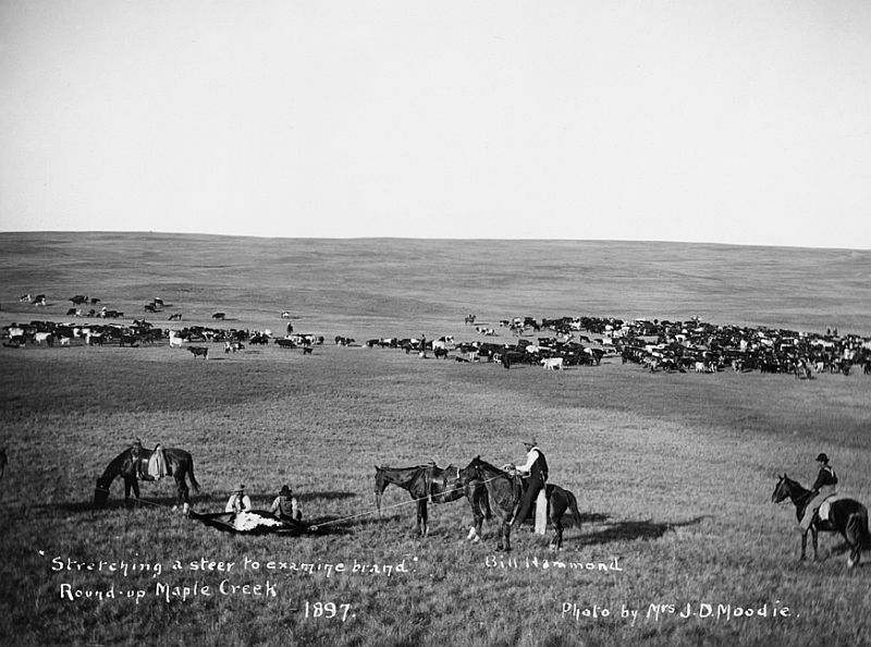Cowboys stretching a steer at round-up, Maple Creek area, Saskatchewan, 1897
