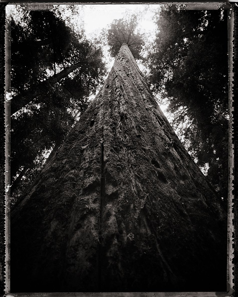 "© Michael Kirchoff, ""Redwood"""