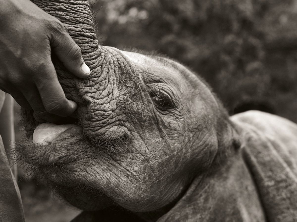 © Elephants in Heaven by Joachim Schmeisser, published by teNeues, www.teneues.com, Just like humans, elephants comfort each other in stressful situations. This is one of the many functions of the trunk. Here, the hand of the caretaker assumes this role until the elephant is two years old, Photo © 2017 Joachim Schmeisser.