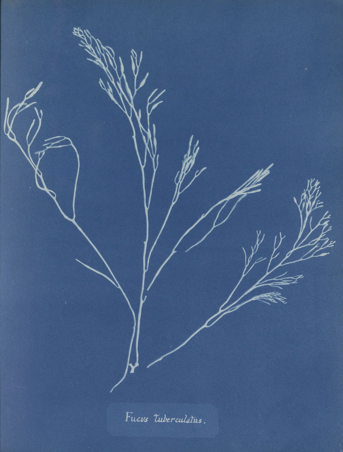 A cyanotype photogram made by Anna Atkins