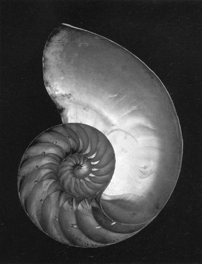 Edward Weston, Chambered Nautilus, 1927