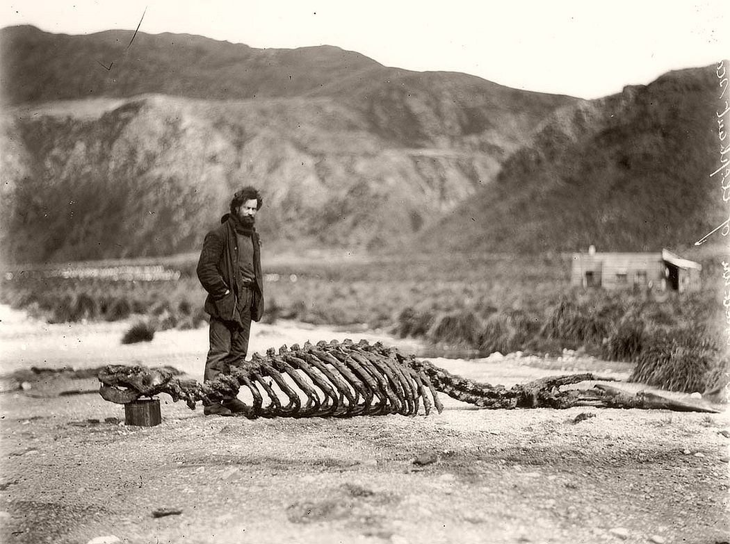 Skeleton of sea-elephant and Harold Hamilton, circa 1912