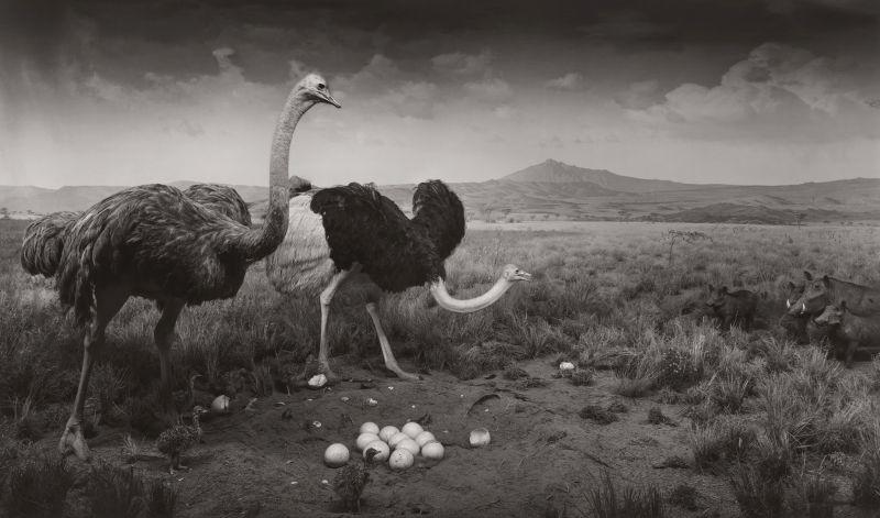 Sugimoto-Ostrich-Wart_Hog_1980-Damiani