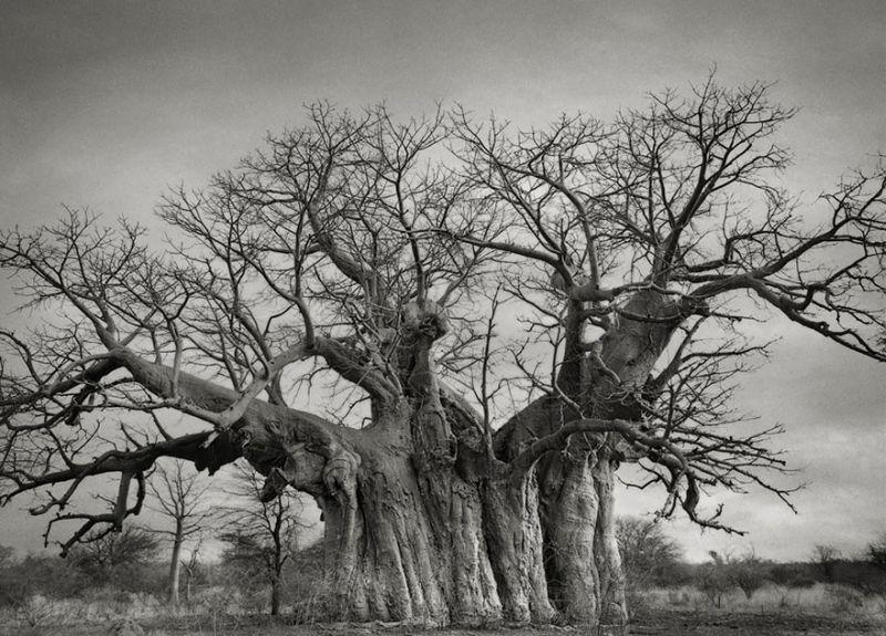 ancient-trees-beth-moon-3