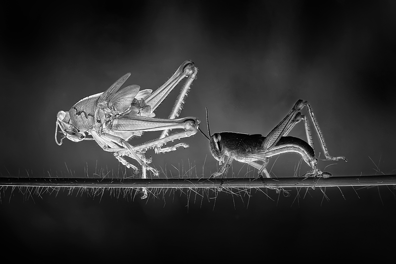 Molting Grasshopper © Adhi Prayoga - Wildlife Photographer of the Year 2014, 1st place Winner in Wildlife, Professional