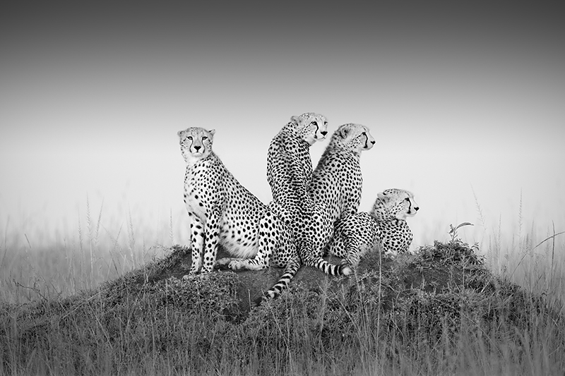 Cheetahs © Richard Garvey-Williams – 2nd place Winner in Wildlife, Professional