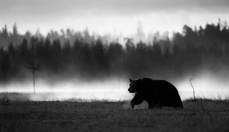Brown Bear © Arnfinn Johansen – Honorable Mention in Wildlife, Professional
