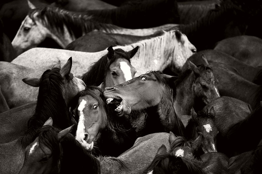 """Rapa das Bestas, Sabucedo, Galicia (Spain). Hundreds of wild horses roam the mountains of the region of estrada. Currently there are over 600 horses, called """"bestas"""" females and """"garañones"""" males, divided in 14 herds, living free in an area of over 200 square miles of forest."""