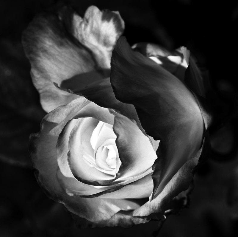 bobby-chitrakar-Rose