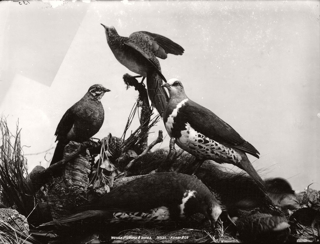 vintage-glass-plate-collodion-portraits-of-animals-and-birds-from-australia-11