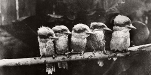 Vintage Glass Plate portraits of Animals and Birds from Australia
