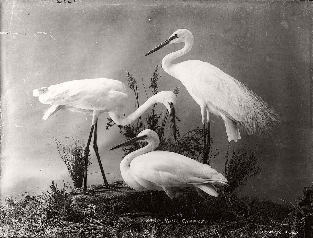 vintage-glass-plate-collodion-portraits-of-animals-and-birds-from-australia-16
