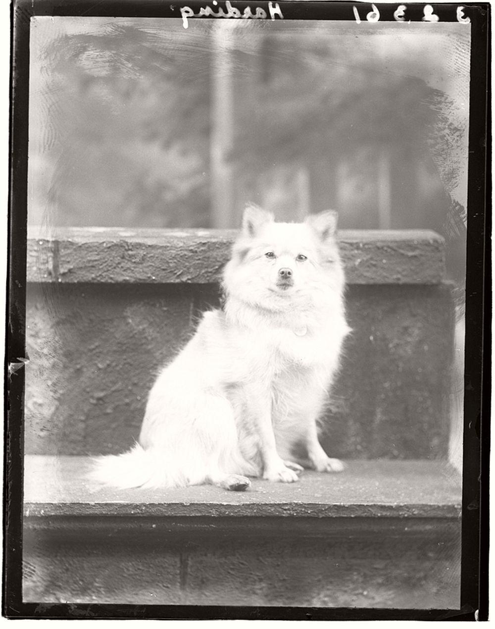 vintage-glass-wet-plate-collodion-portraits-of-pets-1910s-07