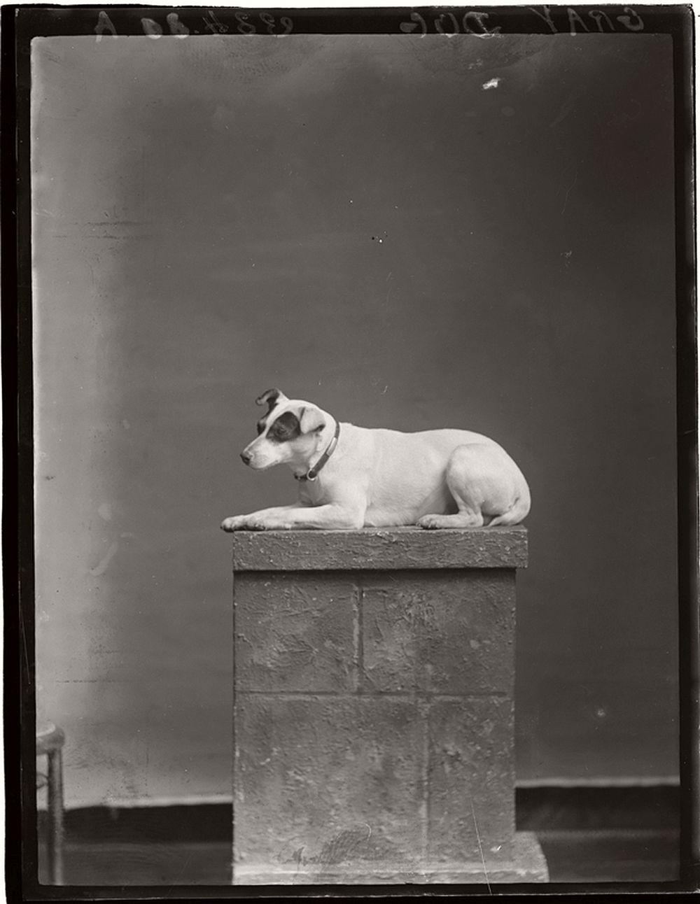 vintage-glass-wet-plate-collodion-portraits-of-pets-1910s-12
