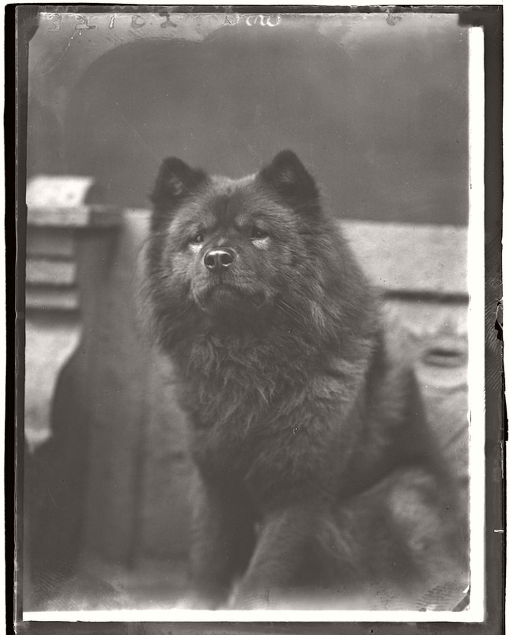 vintage-glass-wet-plate-collodion-portraits-of-pets-1910s-14