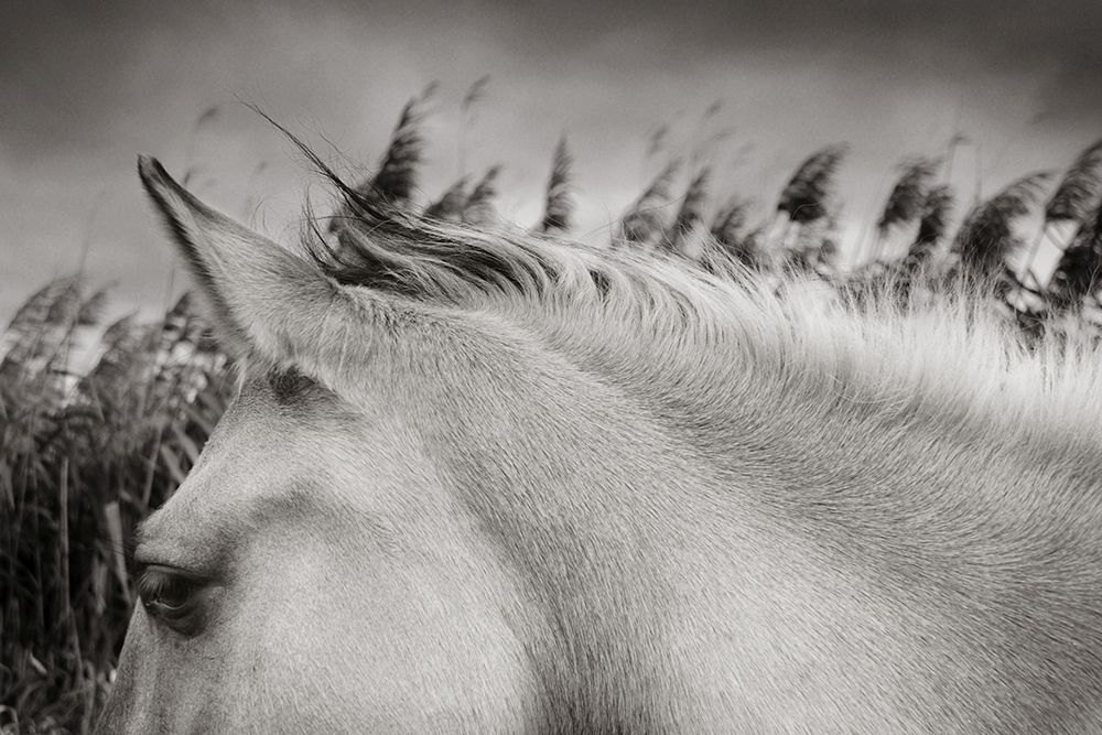 "Konik Ponies living ""as wild"" on Wicken Fen in Cambridgeshire"