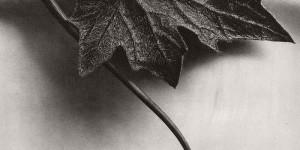 Biography: Fine Art / Botanical photographer Karl Blossfeldt