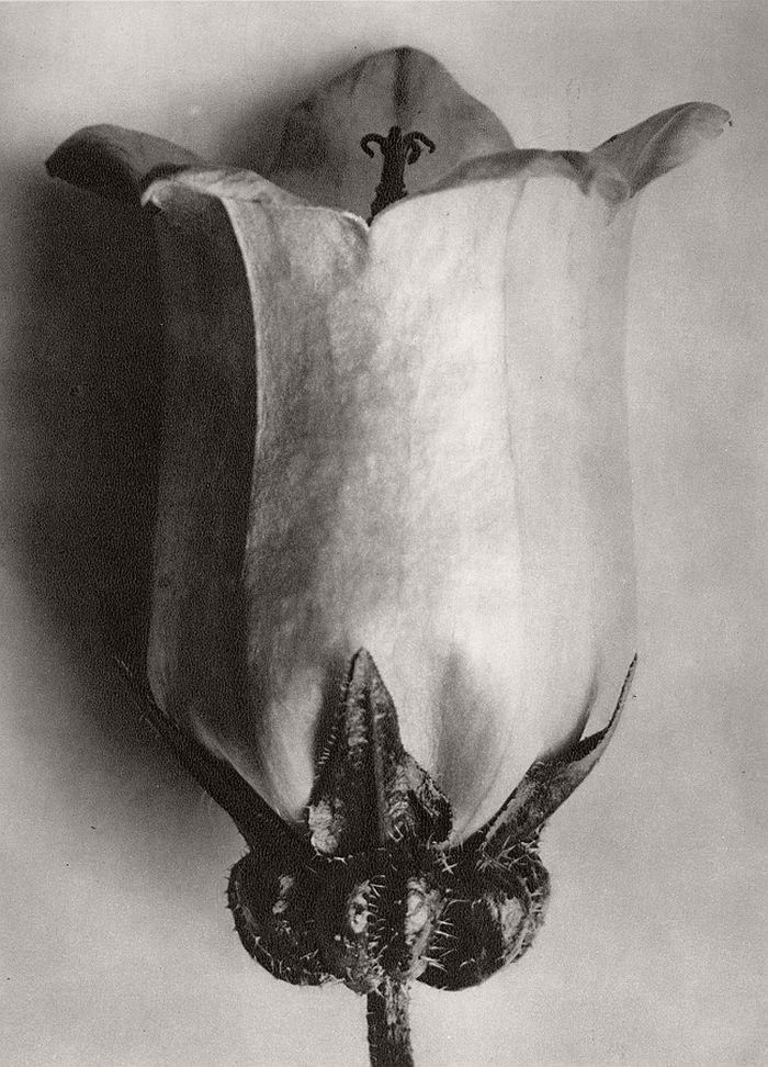 karl-blossfeldt-bw-fine-art-botanical-photographer-06