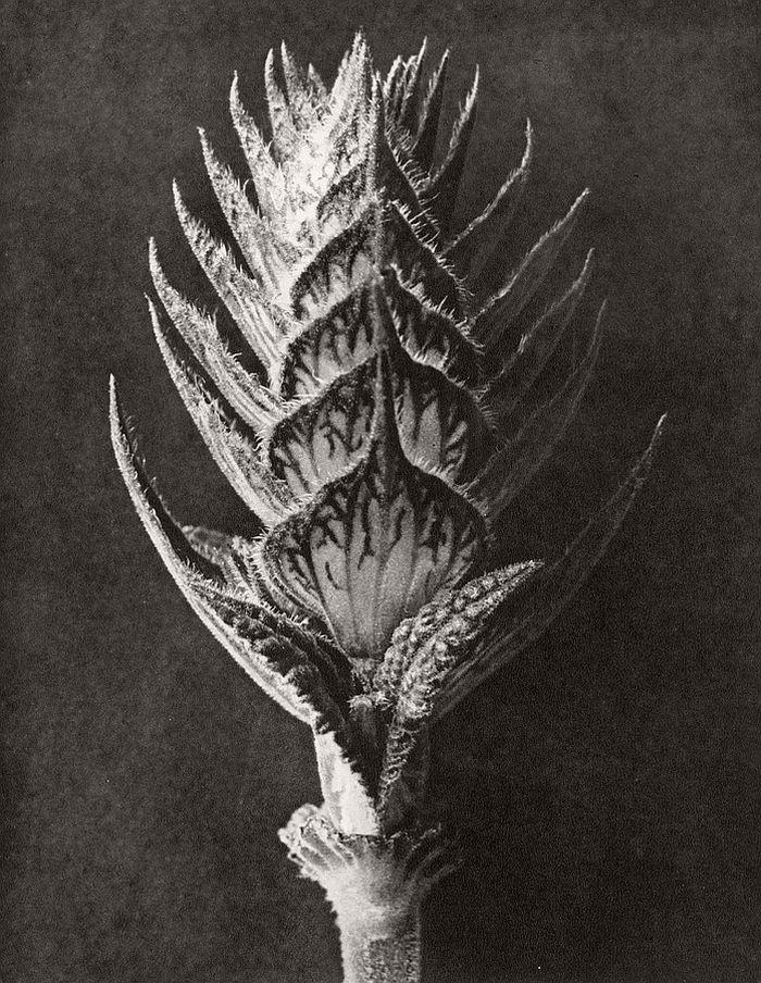 karl-blossfeldt-bw-fine-art-botanical-photographer-09