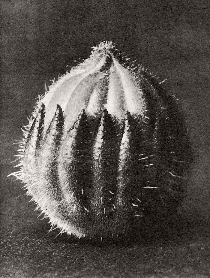 karl-blossfeldt-bw-fine-art-botanical-photographer-10