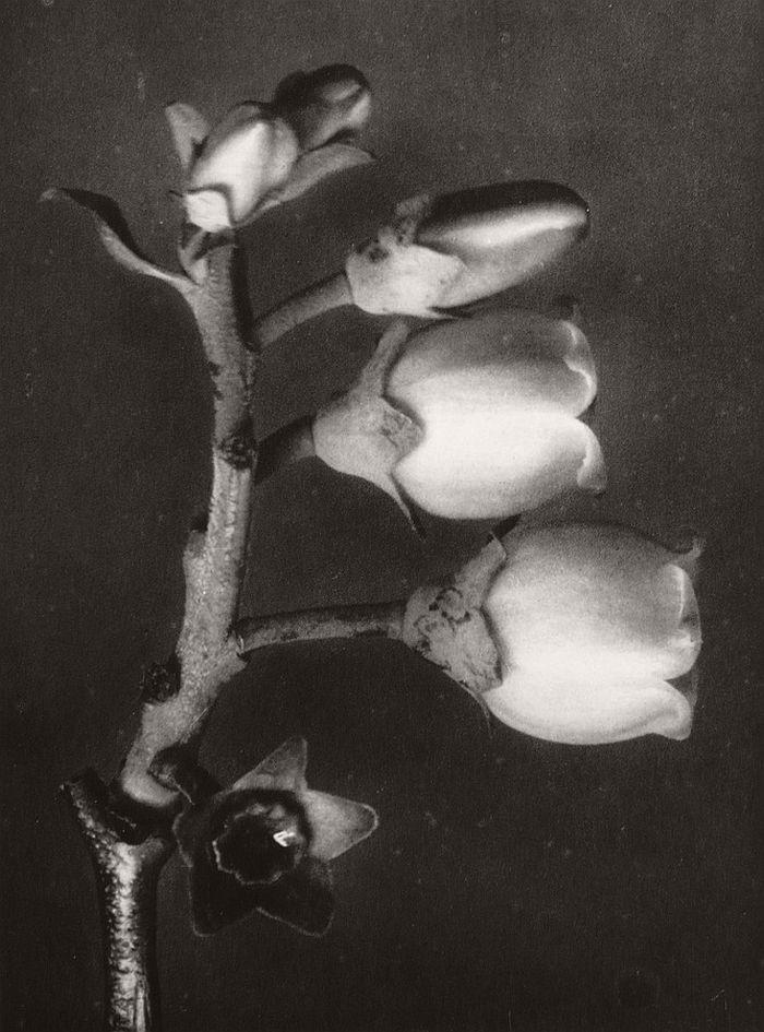 karl-blossfeldt-bw-fine-art-botanical-photographer-11