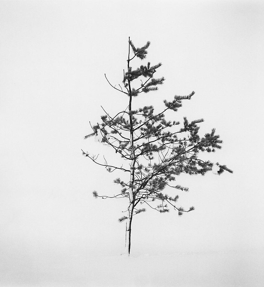 Tree Portrait, Study 7, Wakoto, Hokkaido, Japan, 2002