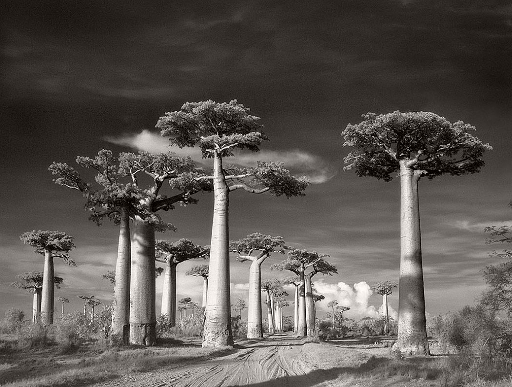 Avenue of the Baobabs. Morondava, Madagascar 2006. Found only on the island of Madagascar, these strange and magnificent baobabs look best at sunset when their dramatic trunks, ten feet in diameter, absolutely glow.
