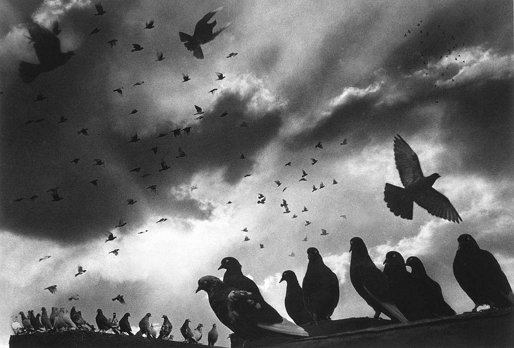 Harold Feinstein  Pigeons, 1956