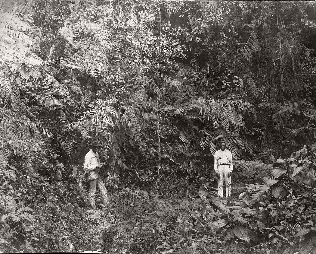 Traveler's palm, Hope Gardens, Kingston, Jamaica, ca. 1890s