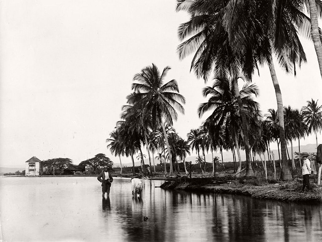 Coconut palms in Kingston Harbour, 1895