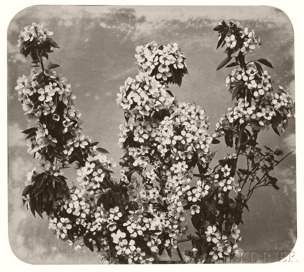 Floral Study (Apple Blossoms), c. 1854