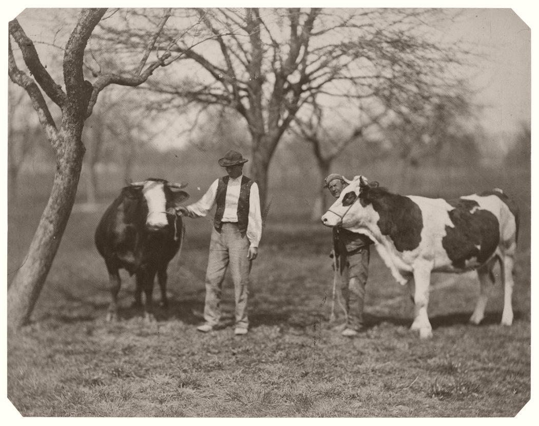 Prize Winning Cows, c. 1865