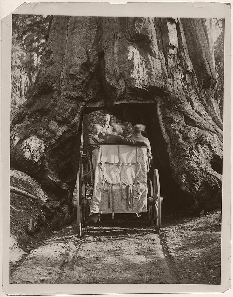 President Theodore Roosevelt, with his party, riding a carriage through the Wawona Tunnel Tree during his 1903 visit to Yellowstone National Park. The man to the left of Roosevelt is William Loeb, Jr. (Presidential Secretary)
