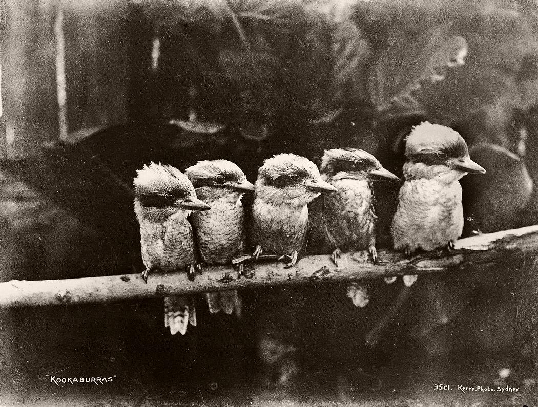 Kookaburras.