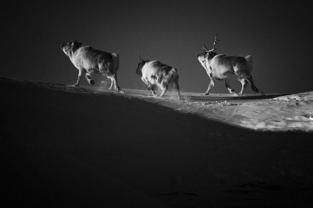 Reindeers, Svalbard 2014 © Laurent Baheux