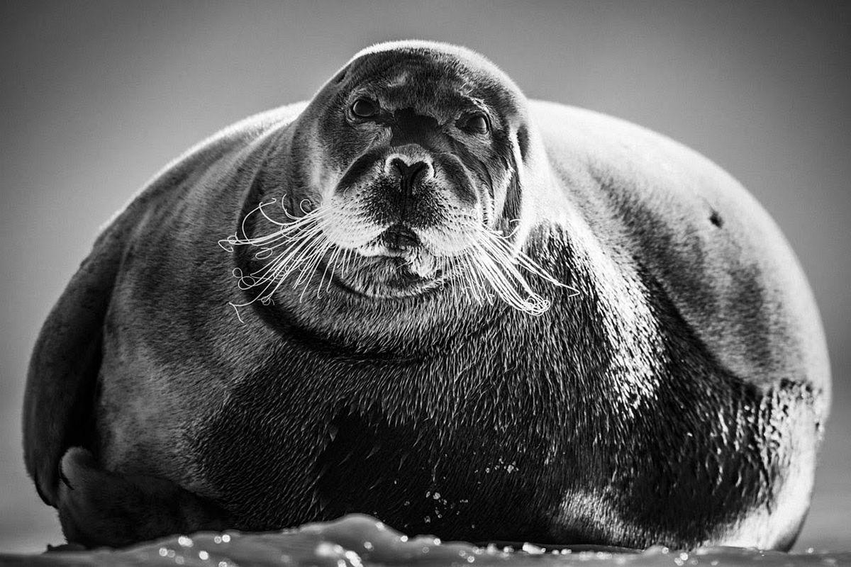 Seal, Svalbard 2014 © Laurent Baheux