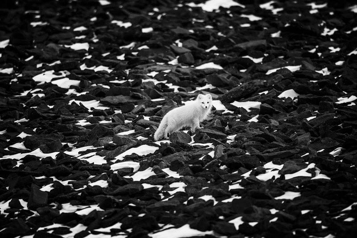 Polar fox, Svalbard 2014 © Laurent Baheux