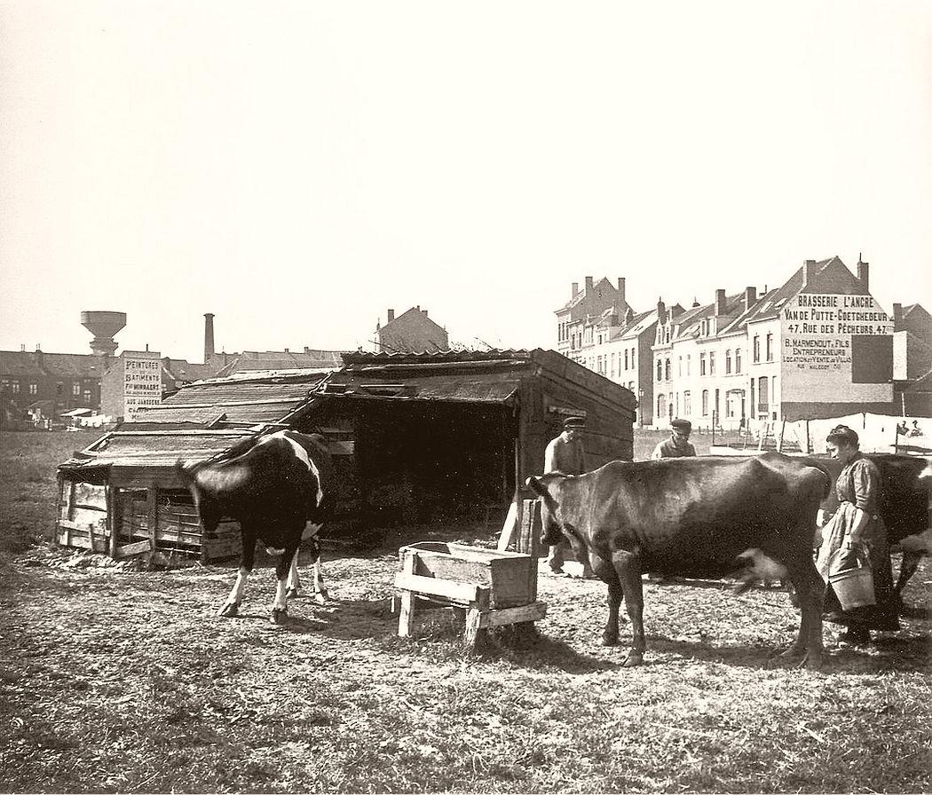 Milking cows, Knokke-Heist, 1906