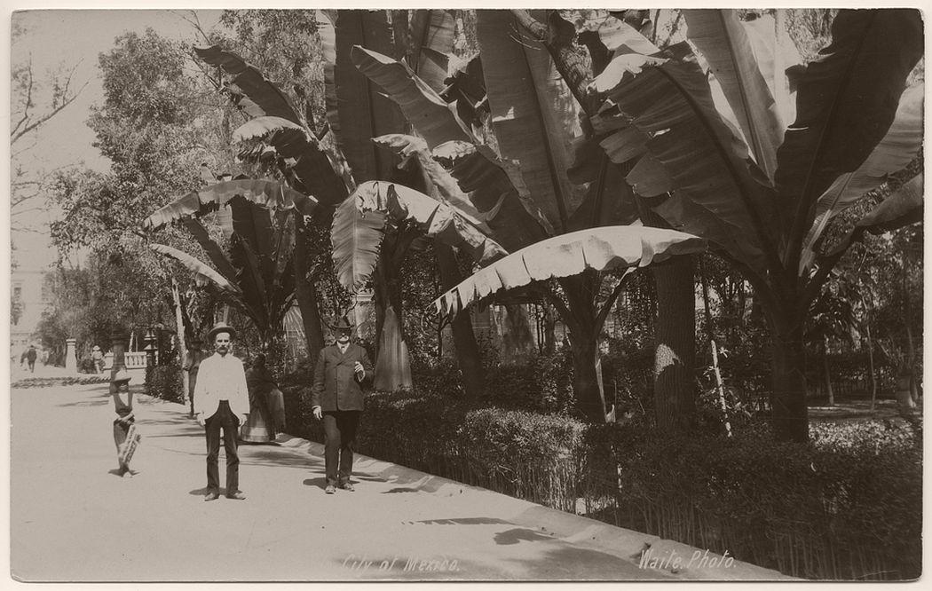 Banana tree in Alameda, City of Mexico, 1904