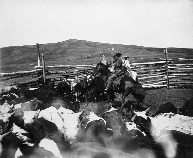 Roping a heifer for spaying on ranch, Maple Creek area, Saskatchewan, 1897