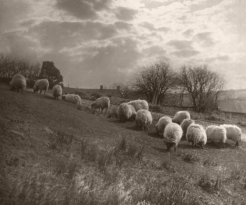 Sheep grazing in the middle