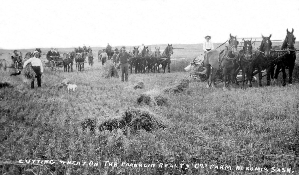 Cutting wheat on the Franklin Realty Company's farm, Nokomis, Saskatchewan
