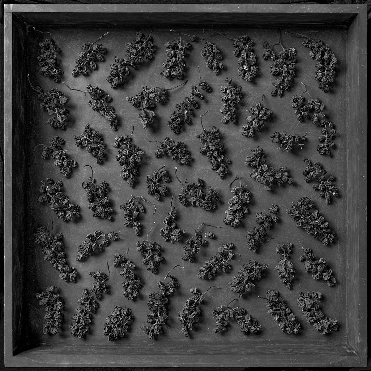 An arrangement of a number of dried grappoli (bunches of grapes) in a shallow black tray or drawer.