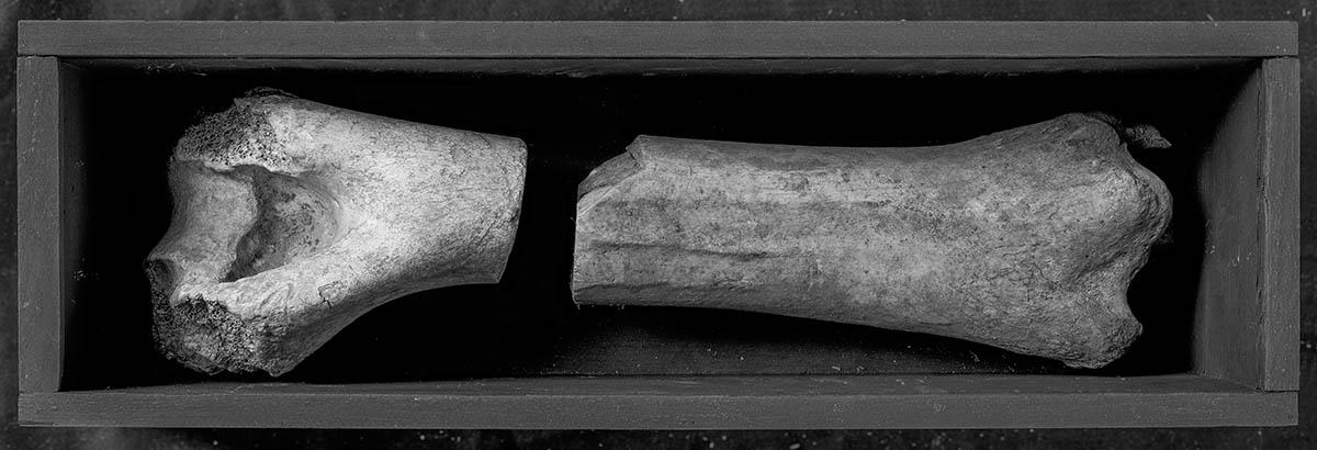 Two beef bones arranged in a long wooden box.