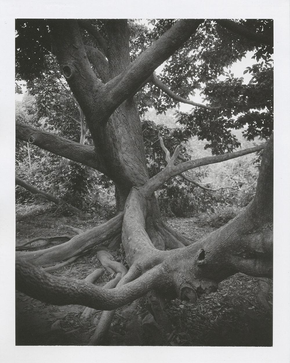 """Magnolia Kobus #3, 2012 8"""" x 10"""" Polaroid"""