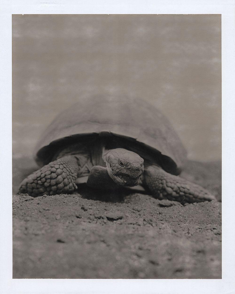 """Tortoise, 2005 8"""" x 10"""" Polaroid"""