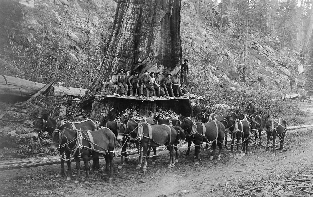1917  Loggers and a 10-mule team prepare to fell a giant Sequoia tree in California.  Image: A. R. Moore/National Geographic Creative/Corbis